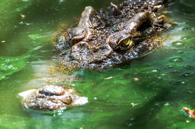 緑の湿地のワニ