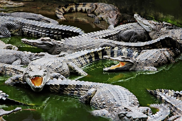 Crocodiles in the water