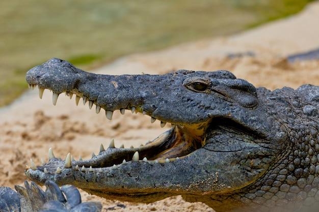 Нильский крокодил, crocodylus niloticus