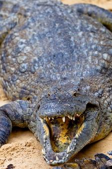 ナイルワニ、crocodylus niloticus