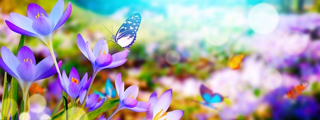 春の晴れた日に蝶とソフト フォーカスでクロッカスの花