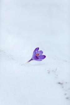 Цветы крокуса в первые дни весны