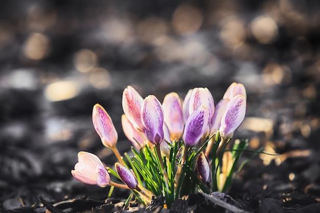 春の庭のクロッカス