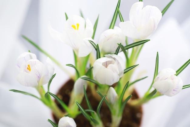 Crocus, 복수형 crocuses 또는 croci는 홍채 가족에 있는 꽃 피는 식물의 속입니다. 크로커스 한 마리, 크로커스 무리, 크로커스가 가득한 초원, 클로즈업 크로커스. 흰색 배경에 크 로커 스입니다.