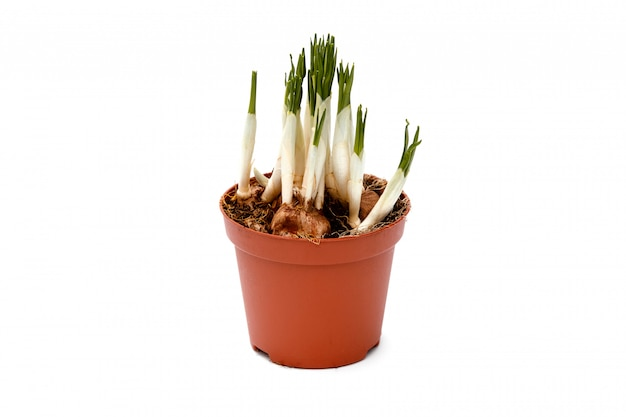 Crocus sprouts in a pot isolated.