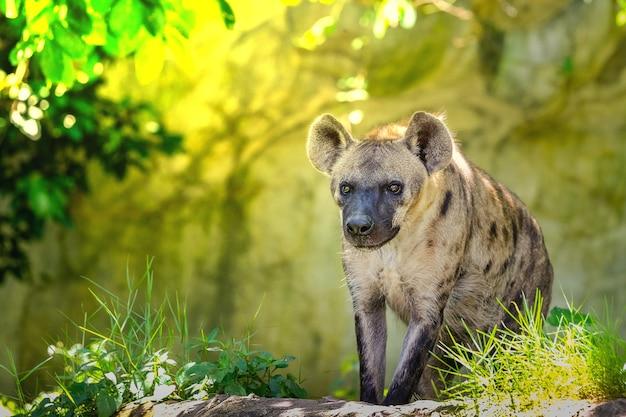 Пятнистая гиена (crocuta crocuta), также известная как смеющаяся гиена.