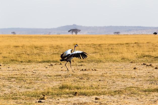 Старуха журавль танец в саванне амбосели африка