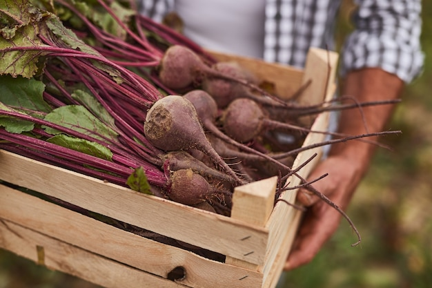 Crop anonymous male farm worker carrying wooden box filled with freshly harvested organic beets while working in agricultural field