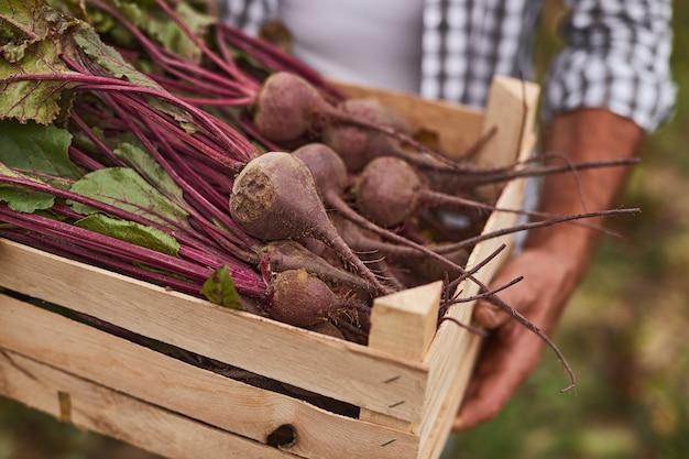 농업 분야에서 일하는 동안 갓 수확한 유기농 비트로 가득 찬 나무 상자를 들고 익명의 남성 농장 노동자