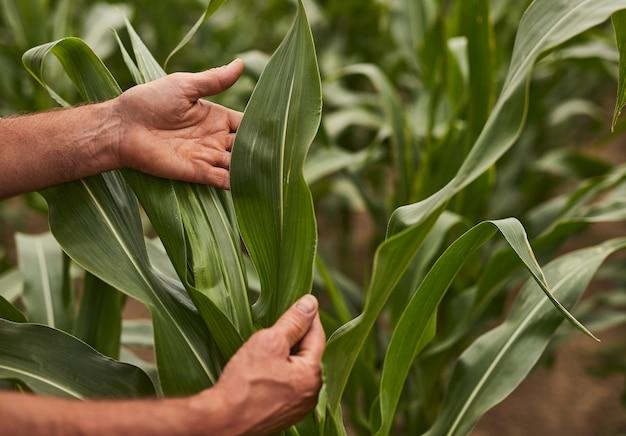Crop farmer examining corn plant
