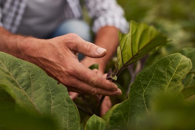 Crop farmer examining plant leaves