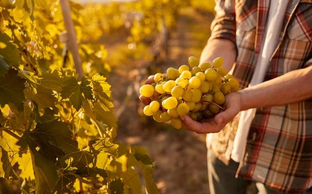Crop farmer showing ripe grapes