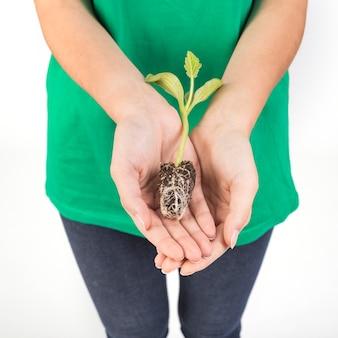 植物の胚芽を保持する女性の手を刈る