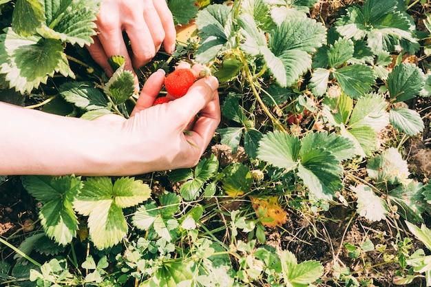 딸기 수확 작물 손