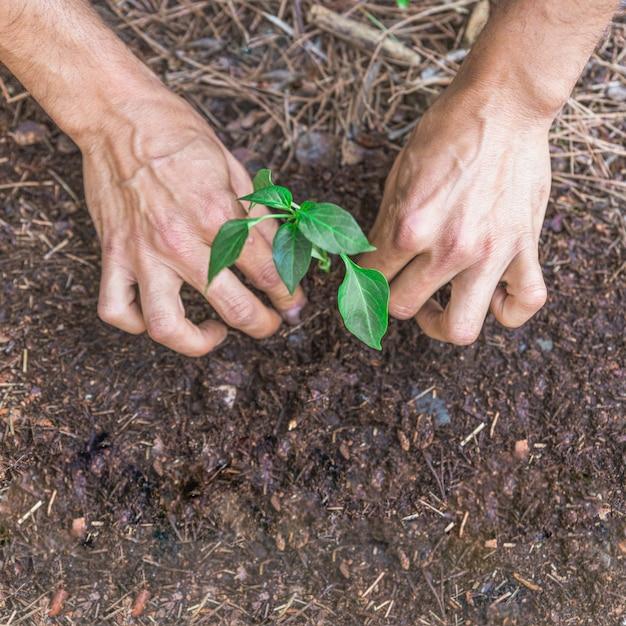 Crop hands pressing dirt around sprig
