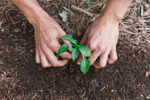 Crop hands putting sprout in soil