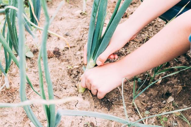 Crop hands tending onion