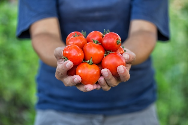 농부의 손에 잘 익은 토마토의 작물