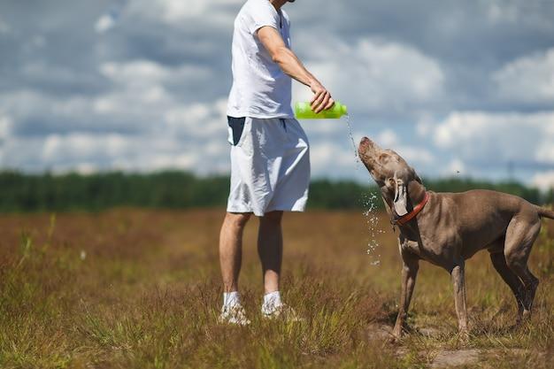 ワイマラナー犬が飲むのを助けるボトルから水を注ぐ白い服を着た男の作物ショット