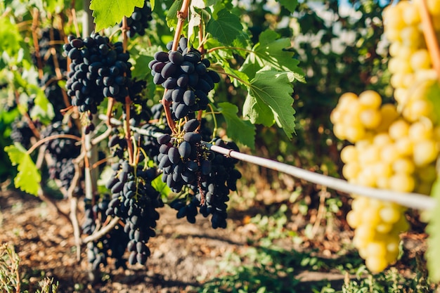 Crop of table grapes on ecological farm, blue and green grape hanging in garden