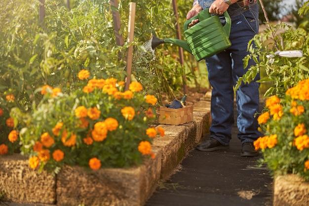 全体的にジーンズを着用し、庭でトマト植物に水をまく庭師のトリミングされた写真