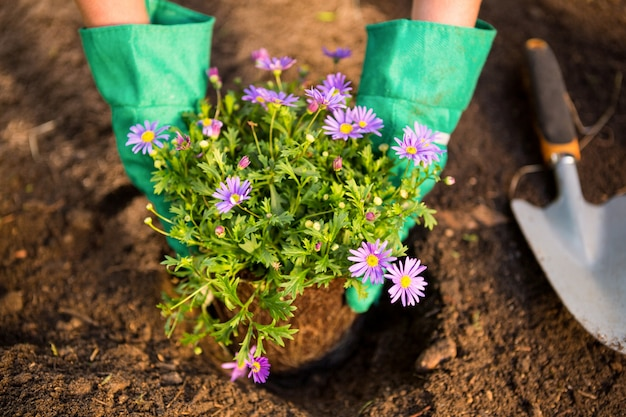 Cropped image of gardener planting potted plant in dirt at garden