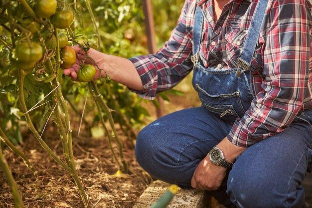 思いやりのある農家が庭で育つトマトに触れている写真を切り抜いた