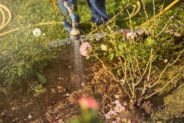 호스 스프링클러에서 정원 장미에 물을 주는 돌보는 일꾼의 자른 사진