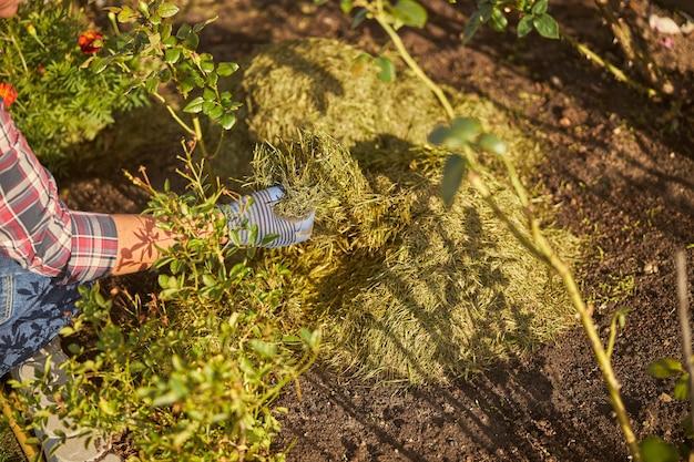 추운 계절에 식물을 따뜻하게 유지하기 위해 화단 위에 건초를 뿌리는 정원사의 자른 사진