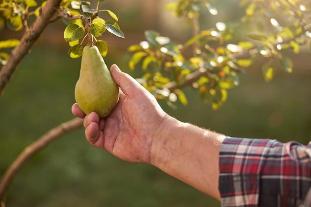 太陽に照らされた庭の木の枝に熟した緑の梨に触れている手のトリミングされた写真