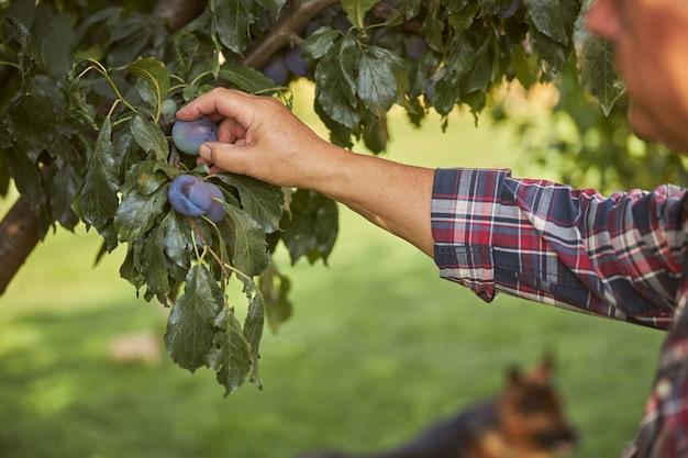 木に生えている梅に触れるチェックシャツを着た男のトリミング写真