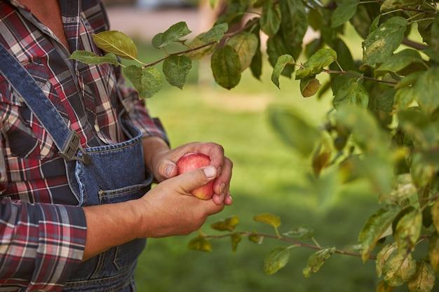 自分の果樹園から赤いリンゴを持っている庭師の手のトリミングされた写真