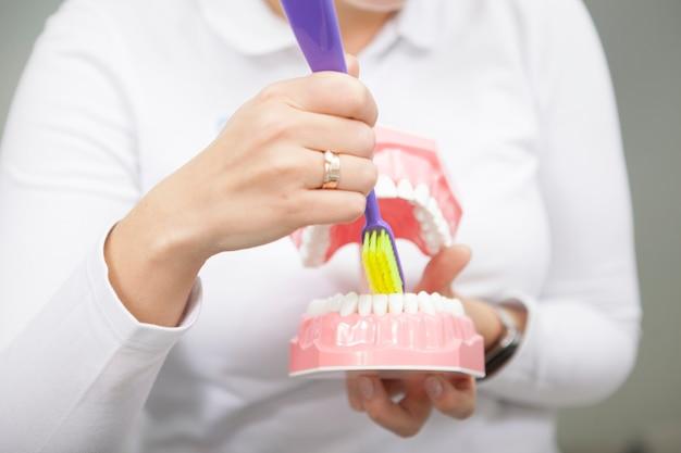 Обрезанный снимок неузнаваемого стоматолога-женщины, показывающего, как чистить зубы на стоматологической модели