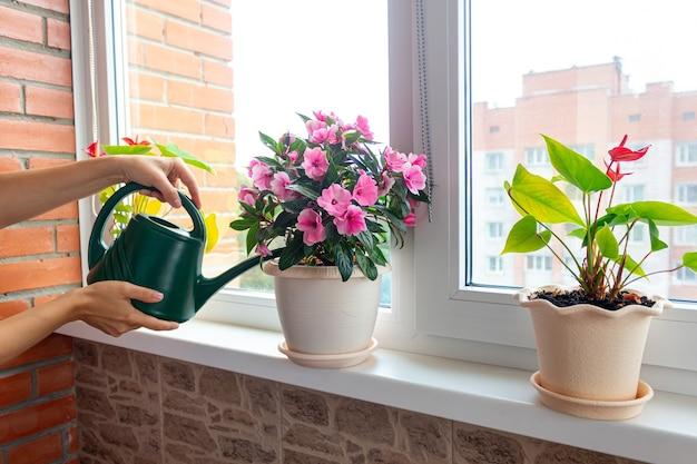 Обрезанный снимок женских рук, поливающих розовое домашнее растение в цветочных горшках на подоконнике