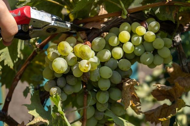 剪定はさみでワイン用ブドウの収穫を収穫する