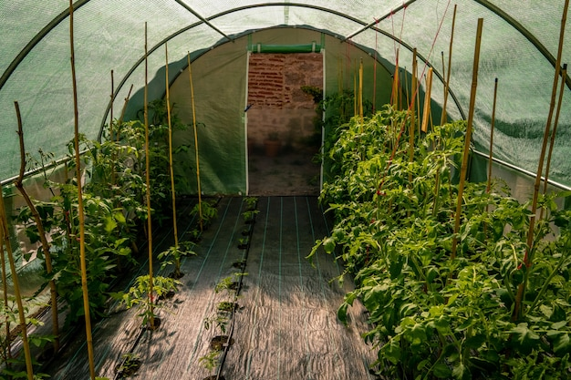 Crops growing in the greenhouse next to wooden sticks