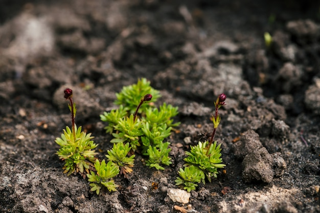 Crops growing in rich black soil outdoor with copy space. plant sprout grow in ground. cultivated land close up. background of young flowers. beginning of life.