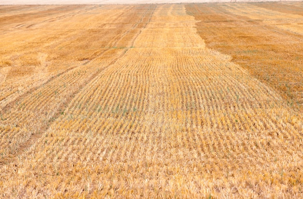 수확 된 곡물