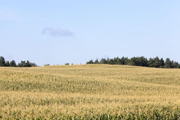 ライ麦の作物