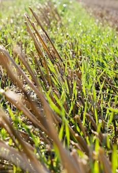 収穫が無精ひげを残した後の農地の作物、利益と食糧生産のための農業