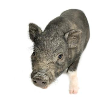 Поперечная вьетнамская свинья с хлебом на белом фоне