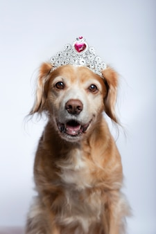 Cross breed dog wearing a princess tiara with fuchsia diamond on white