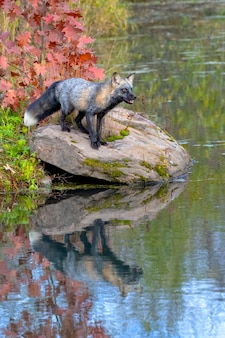 Cross fox in autumn with reflection in water