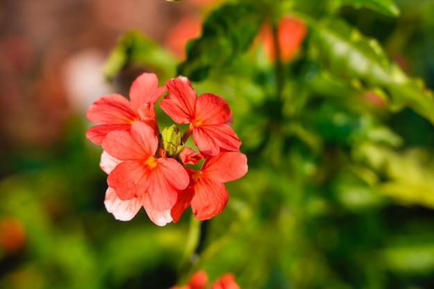 インドの畑でcrossandra花