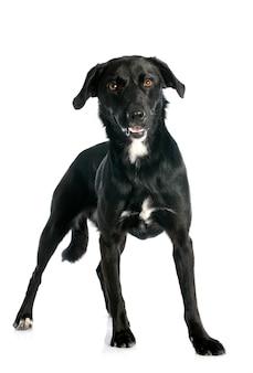 Crossbred labrador