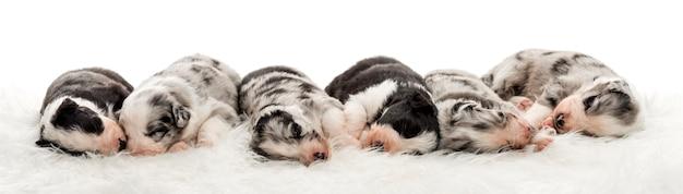 オーストラリアンシェパードとボーダーコリーが一緒に安らかに眠る交雑種