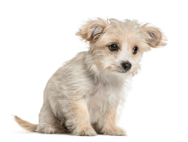 座っている雑種犬、白で隔離