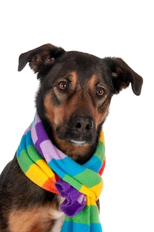 Помесь собаки с красочным шарфом