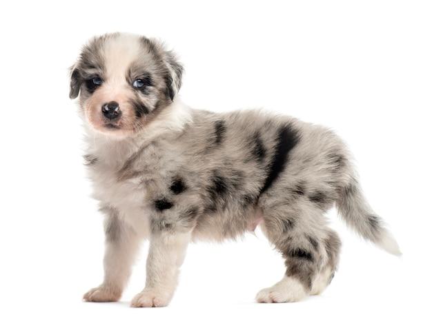 Помесь щенка, изолированные на белом фоне