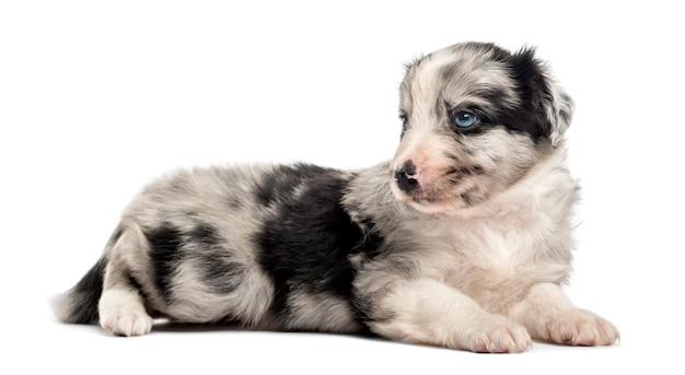 Гибридный щенок, лежа на белом